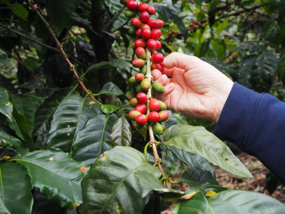 Ein Maragogype Kaffeebaum, die Größe der Kaffeekirschen ist beeindruckend